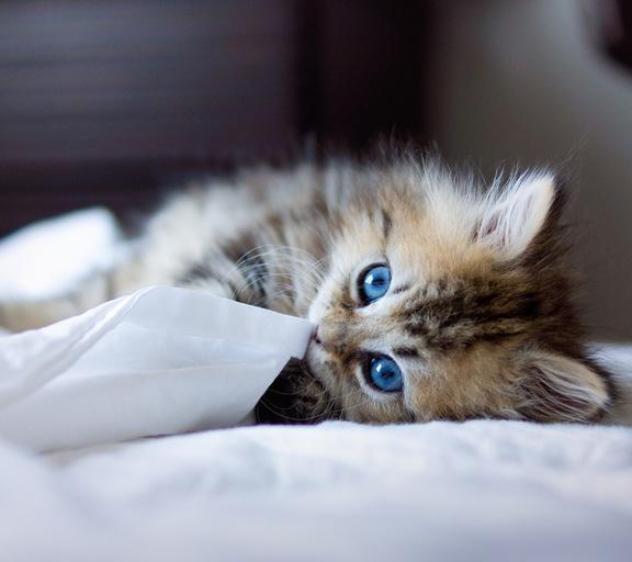 Le ronronnement des chats en ligne